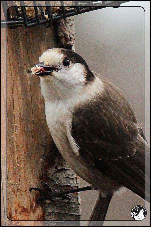 Ridgetop Farm and Garden | Great Backyard Bird Count | Gray Jay