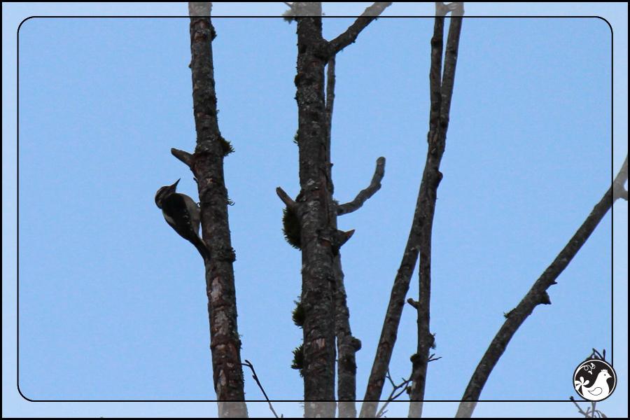 Ridgetop Farm and Garden | Great Backyard Bird Count | Hairy Woodpecker