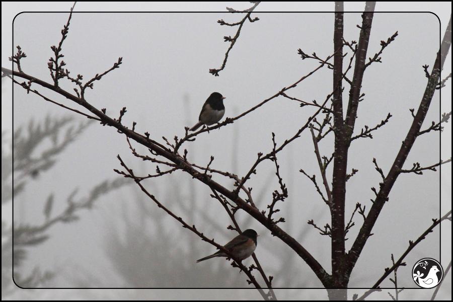 Ridgetop Farm and Garden | Great Backyard Bird Count | Junco
