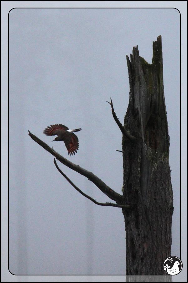 Ridgetop Farm and Garden | Great Backyard Bird Count | Northern Flicker