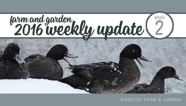 Ridgetop Farm and Garden | 2016 Update | Week 2