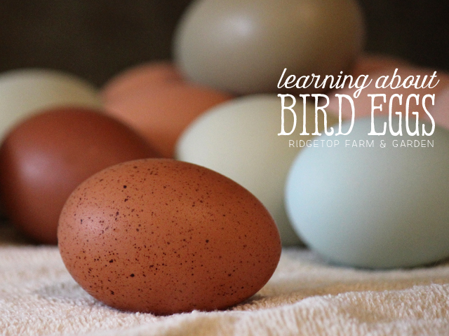 Ridgetop Farm and Garden | Home School | Animal Studies | Bird Eggs
