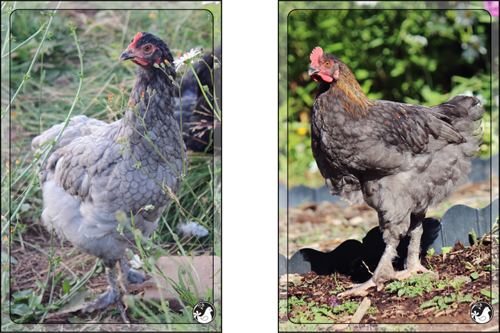 Ridgetop Farm and Garden | Blue Marans | Splash Marans | Black Copper Marans