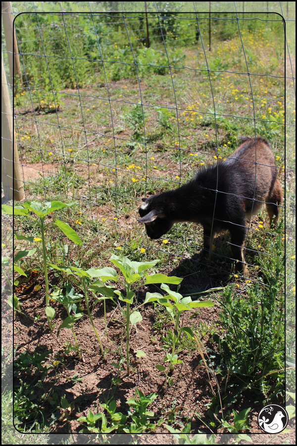 Ridgetop Farm and Garden | July 2014 Update