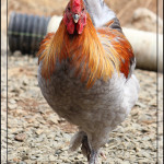 Around the Farm and Garden – August 2014