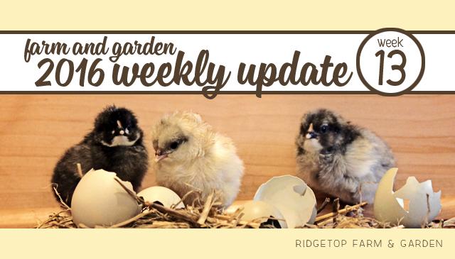 Ridgetop Farm and Garden | 2016 Update | Week 13