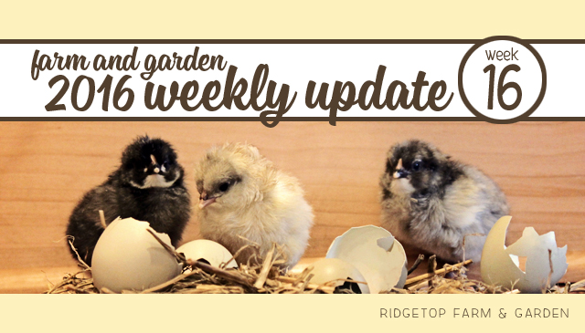Ridgetop Farm and Garden | 2016 Update | Week 16