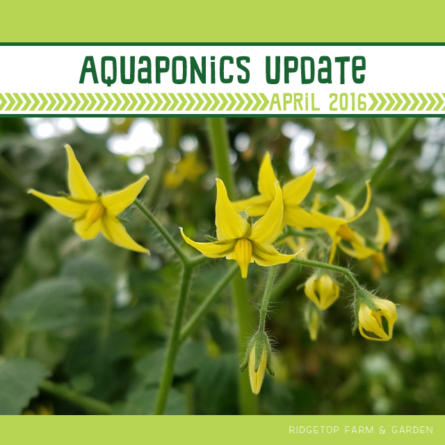 Ridgetop Farm and Garden | Aquaponics Update | April 2016
