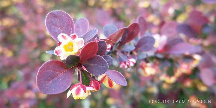 Ridgetop Farm and Garden | Bloom Day | April 2016