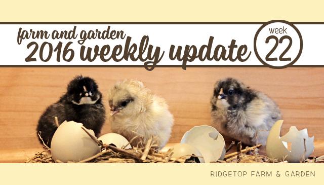 Ridgetop Farm and Garden | 2016 Update | Week 22