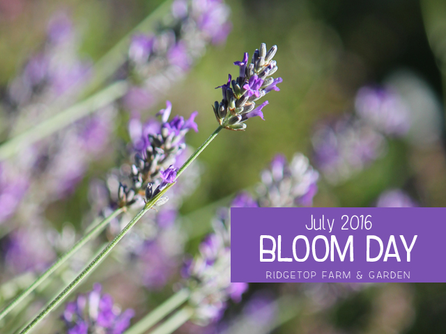 Ridgetop Farm and Garden | Bloom Day | July 2016