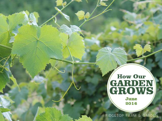 Ridgetop Farm and Garden | How our Garden Grows | June 2016