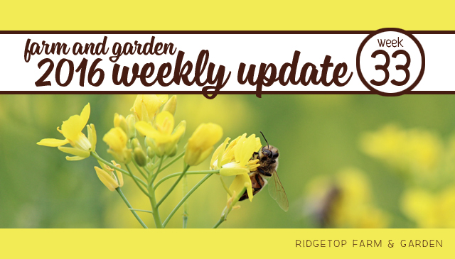 Ridgetop Farm and Garden | 2016 Update | Week 33