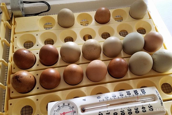 Ridgetop Farm and Garden | 2016 Hatch #1 | Olive Egger