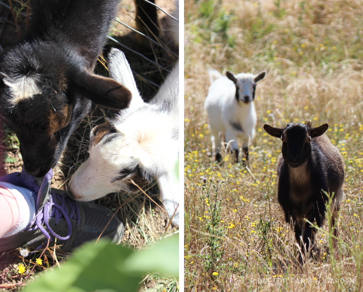 Ridgetop Farm and Garden | Our Goat Herd | Nigerian Dwarf Goat | Sven
