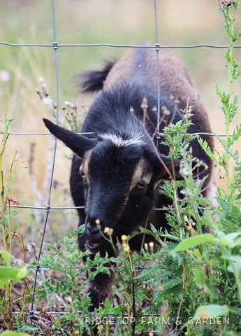 Ridgetop Farm and Garden | Instaling our Goat Fence | Nigerian Dwarf Goat