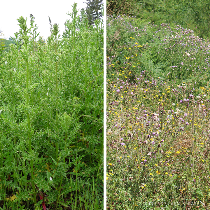 Ridgetop Farm and Garden | Pacific NW Plants | Canada Thistle