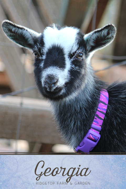 Ridgetop Farm and Garden | Our Goat Herd | Nigerian Dwarf | THE BB MISS GEORGIA O'KEEFE