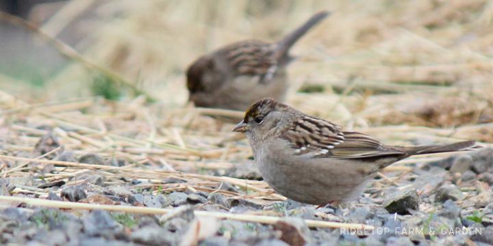RIdgetop Farm and Garden | Birds 'round Here | Golden-crowned Sparrow