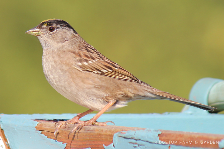 RIdgetop Farm and Garden | Birds 'round Here | Golden-crowned Sparrow