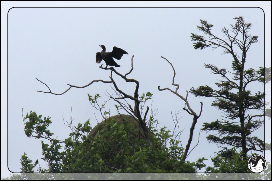 Ridgetop Farm and Garden | Birds of 2013 | Week 24 | Double-crested Cormorant