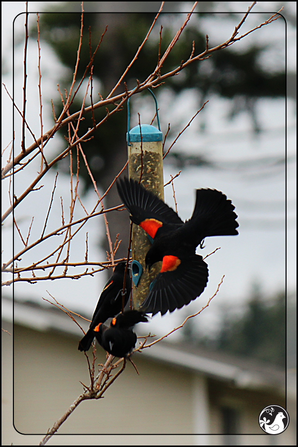 Ridgetop Farm and Garden | Birds of 2013 | Week 15 | Red-winged Blackbirds