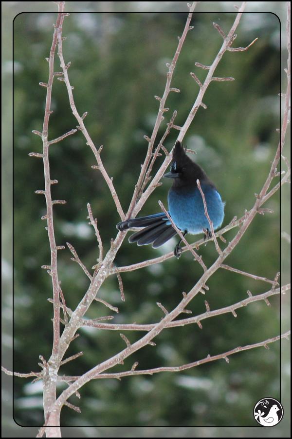 Ridgetop Farm and Garden   Birds of 2013   Week 51   Steller's Jay
