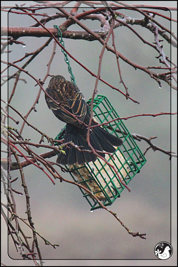 Ridgetop Farm and Garden | Birds of 2013 | Week 15 | Red-winged Blackbird