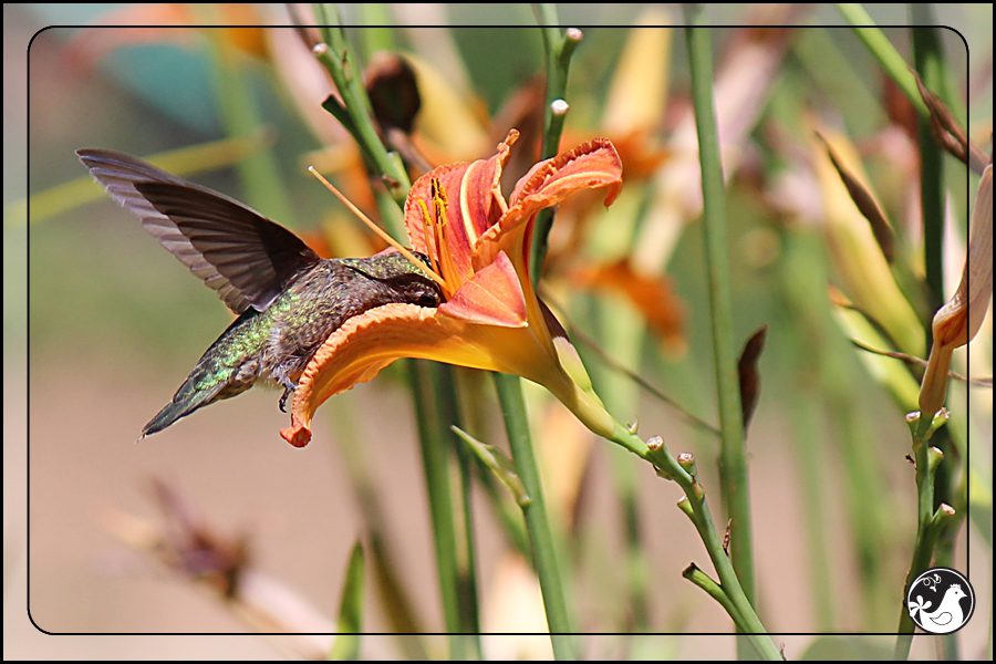 Ridgetop Farm and Garden | Birds of 2013 | Week 30 | Rufous Hummingbird