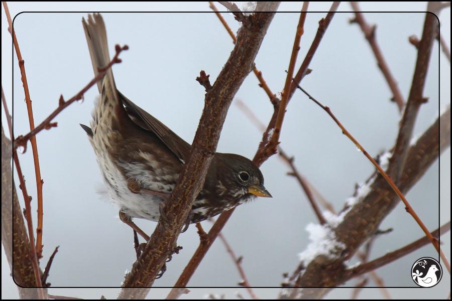 Ridgetop Farm and Garden   Birds of 2013   Week 51   Fox Sparrow