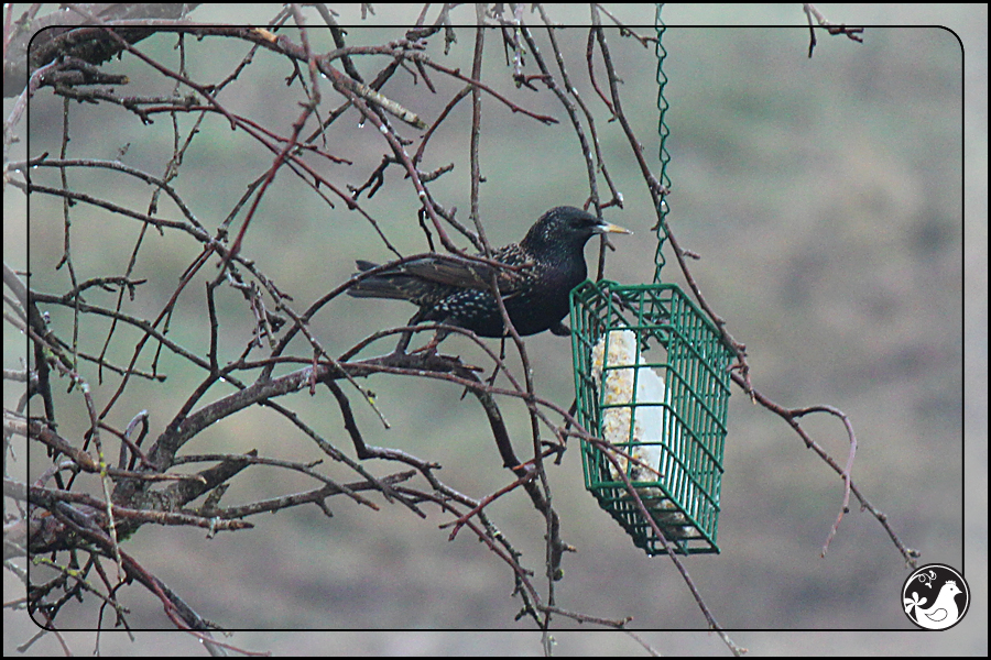Ridgetop Farm and Garden | Birds of 2013 | Week 15 | European Starling