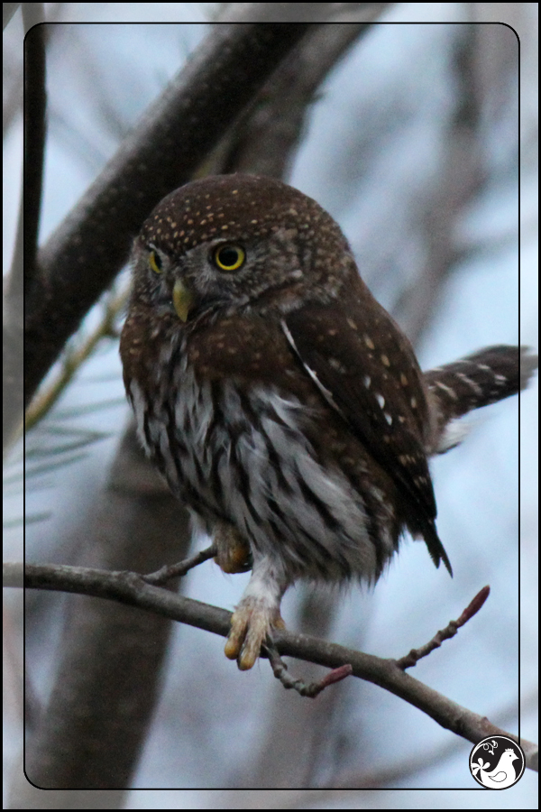 Ridgetop Farm and Garden | Birds of 2013 | Week 10 | Northern Pygmy Owl
