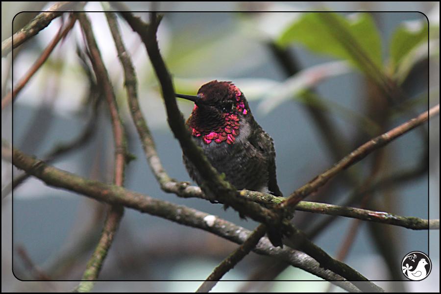 Ridgetop Farm and Garden | Birds of 2013 | Week 38 | Audubon Society | Anna's Hummingbird