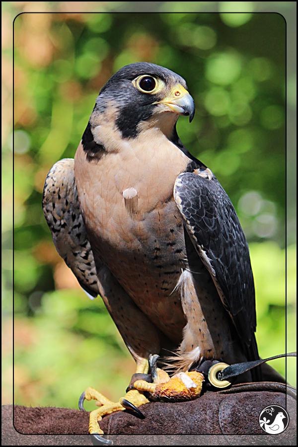 Ridgetop Farm and Garden | Birds of 2013 | Week 38 | Audubon Society | Peregrine Falcon | Finnegan