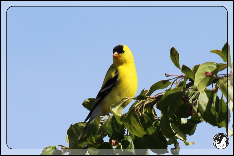 Ridgetop Farm and Garden   Birds of 2013   Week 17   American Goldfinch