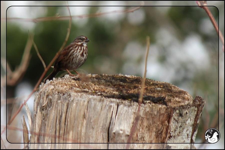 Ridgetop Farm and Garden | Birds of 2013 | Week 13 | Fox Sparrow