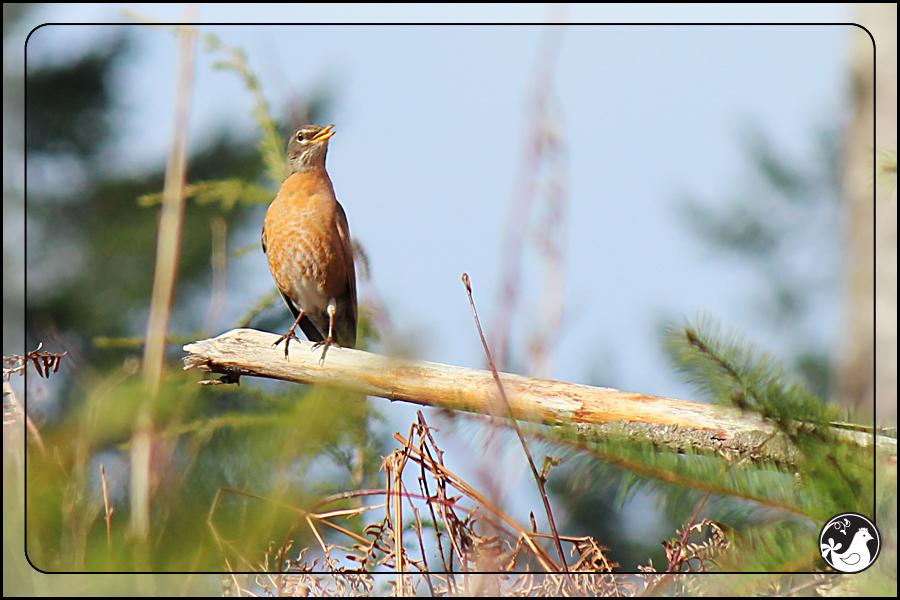 Ridgetop Farm and Garden | Birds of 2013 | Week 13 | American Robin