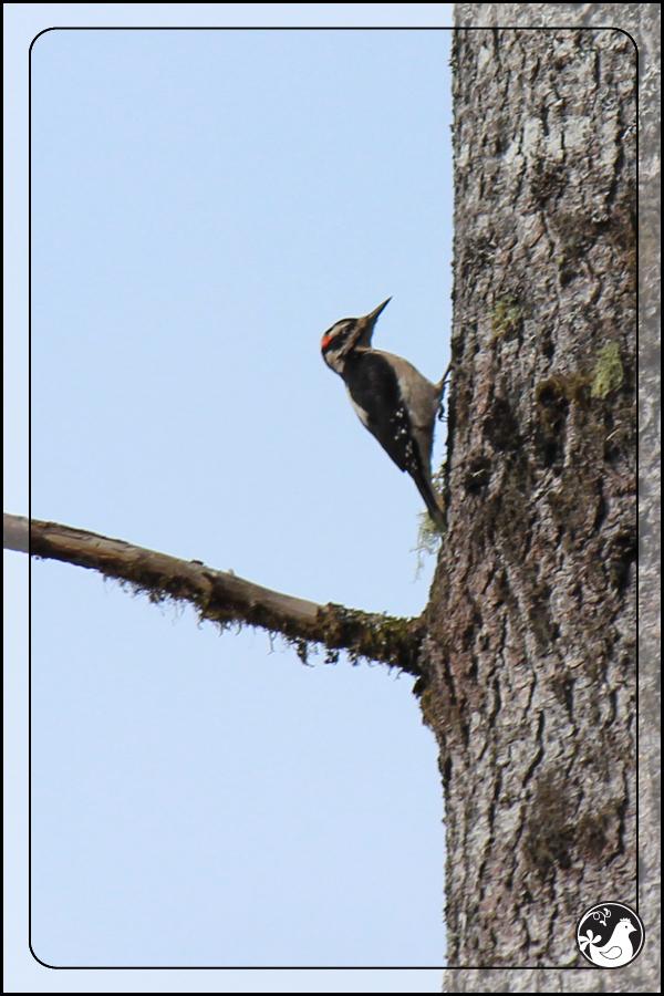 Ridgetop Farm and Garden | Birds of 2013 | Week 13 | Hairy Woodpecker