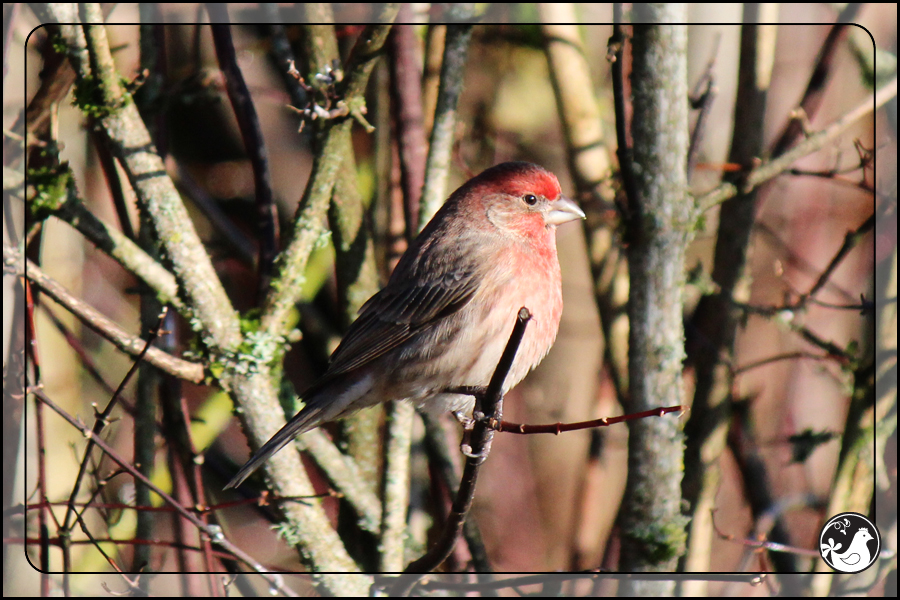Ridgetop Farm and Garden | Birds of 2013 | Week 3 | House Finch