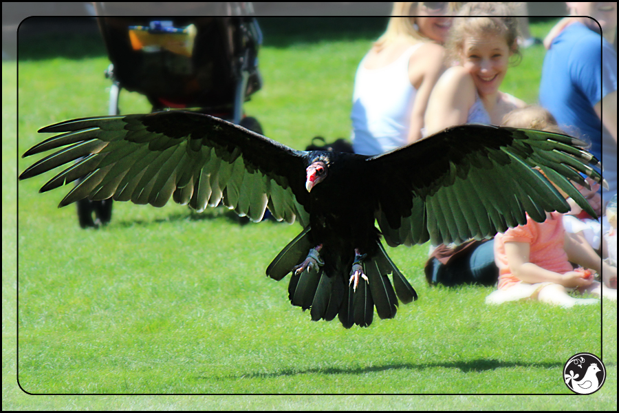 Ridgetop Farm and Garden | Birds of 2013 | Week 35 | Turkey Vulture