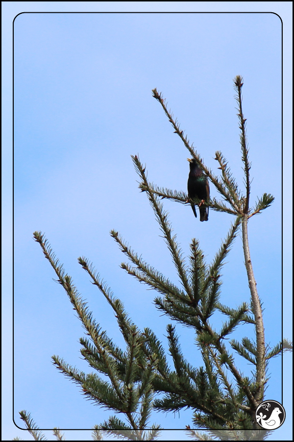 Ridgetop Farm and Garden | Birds of 2013 | Week 13 | European Starling