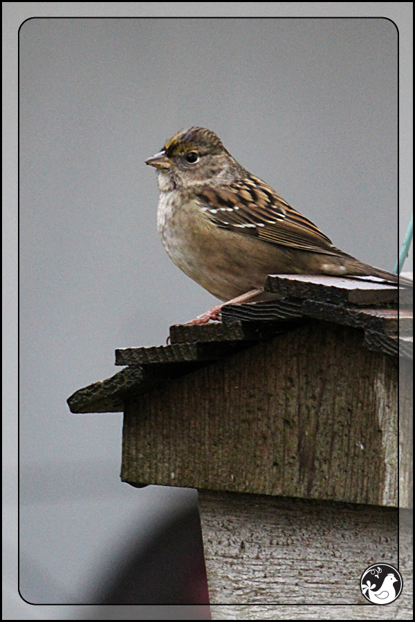 Ridgetop Farm and Garden | Birds of 2013 | Week 15 | Golden-crowned Sparrow
