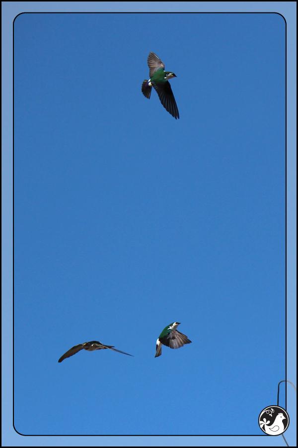 Ridgetop Farm and Garden | Birds of 2013 | Week 13 | VIolet-green Sparrow