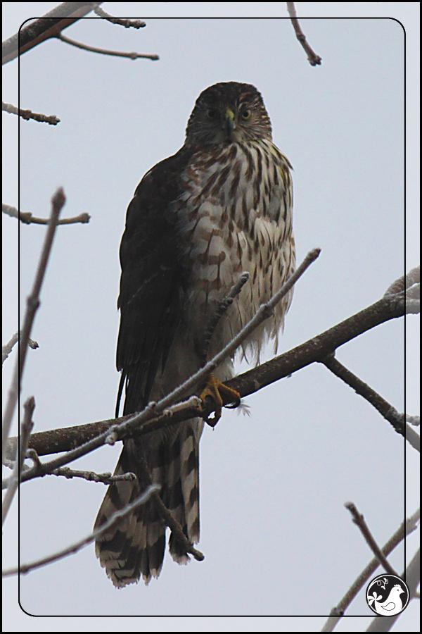 Ridgetop Farm and Garden | Birds of 2013 | Week 9 | Coopers Hawk