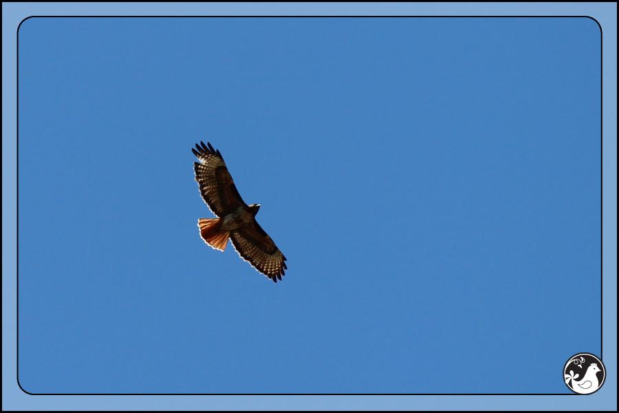 Ridgetop Farm and Garden | Birds of 2013 | Week 13 | Red-tailed Hawk