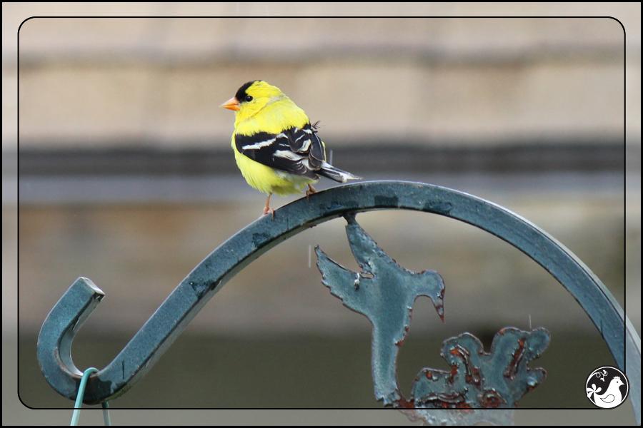Ridgetop Farm and Garden | Birds of 2013 | Week 25 | American Goldfinch