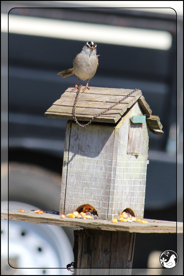 Ridgetop Farm and Garden | Birds of 2013 | Week 15 | White-crowned Sparrow