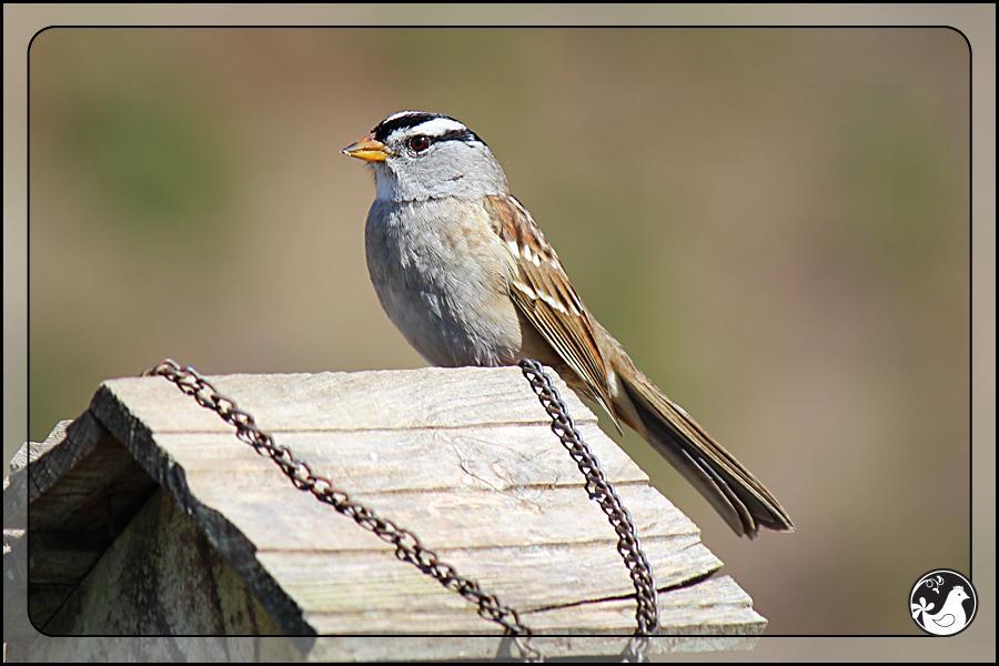 Ridgetop Farm and Garden | Birds of 2013 | Week 13 | White-crowned Sparrow