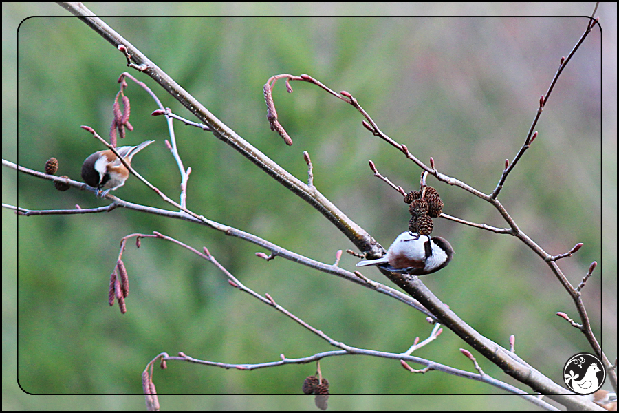 Ridgetop Farm and Garden | Birds of 2013 | Week 10 | Chestnut-backed Chickadee