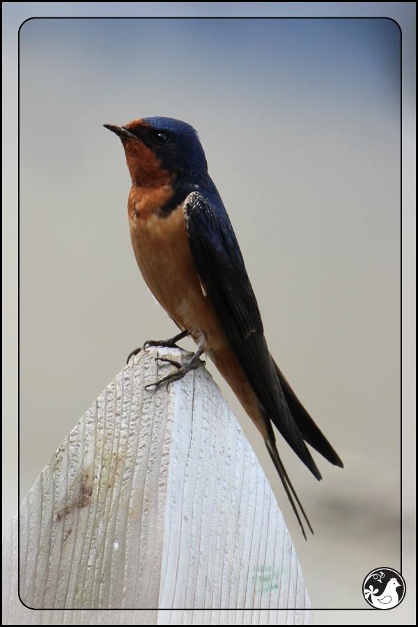 Ridgetop Farm and Garden | Birds of 2013 | Week 25 | Barn Swallow